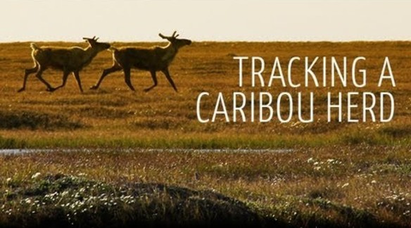 TO THE ARCTIC  |  TRACKING A CARIBOU HERD